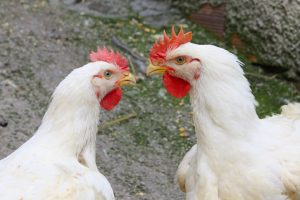 Two rival chicken. Crédits : De kokkodrillo. Shutterstock