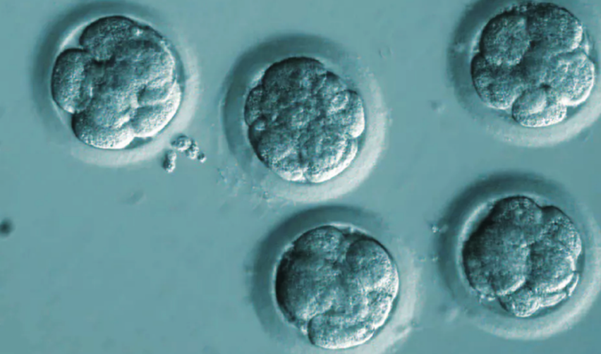 Embryos with eight cells